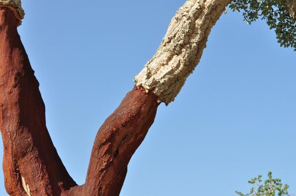 Cork oak 505260 960 720