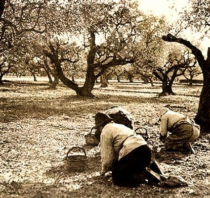 Corse cueillette des olives