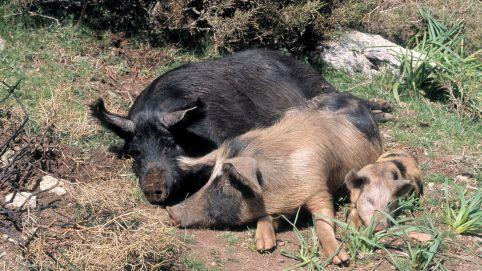 Elevage porcin en corse 3755035