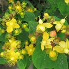 Millepertuis hypericum inodorum magical passion